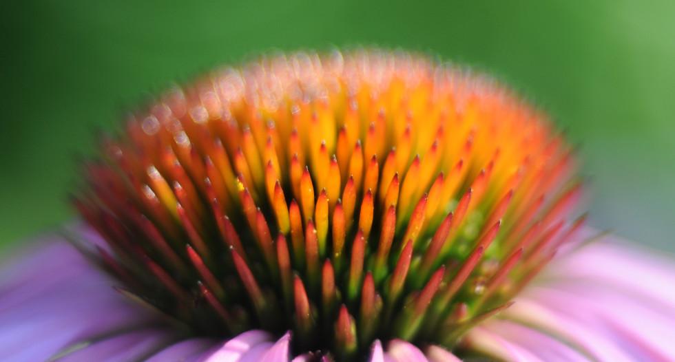 echinacea-flower-free-license-CC0-980x639